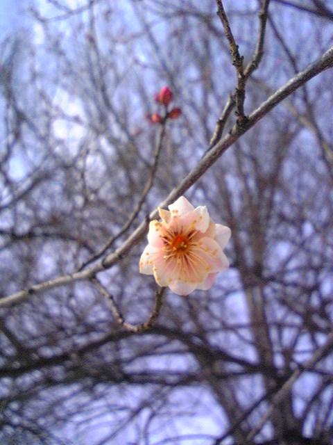 「梅の花」見つけました。